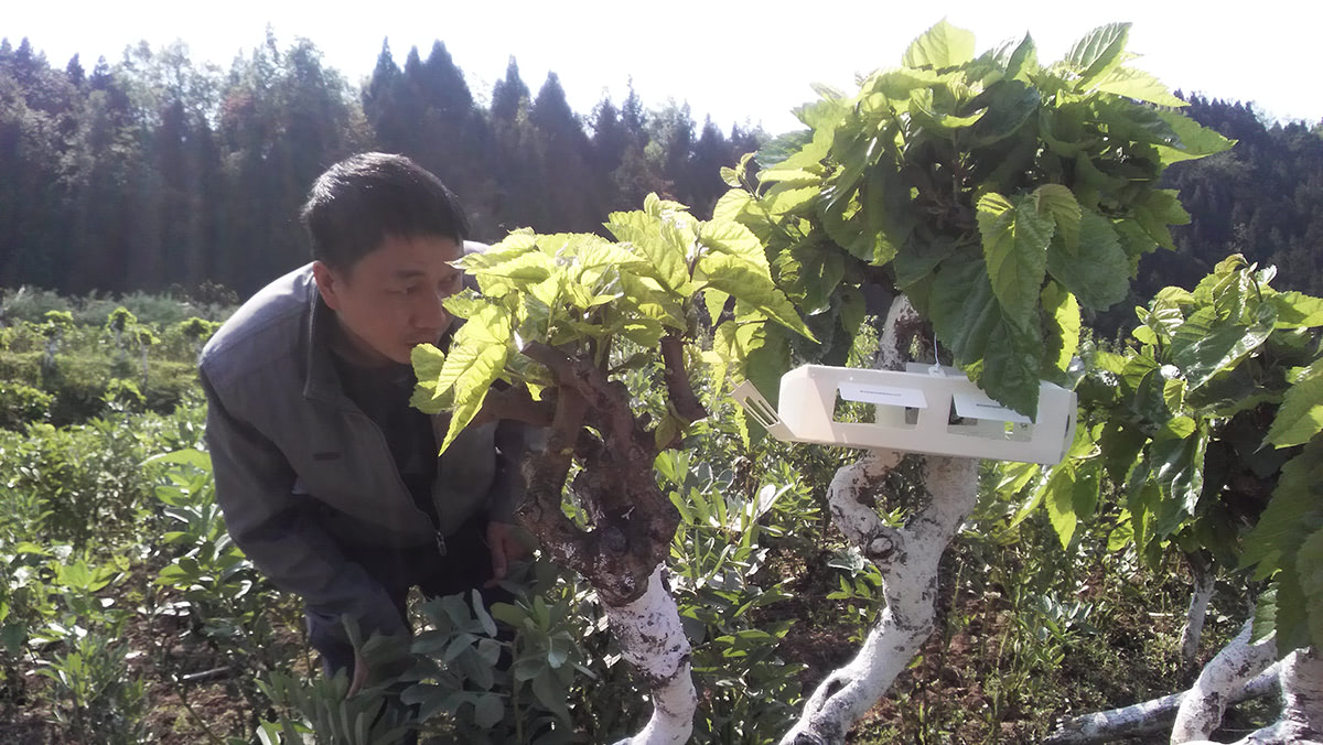 Ecological pheromone trap in mulberry tree