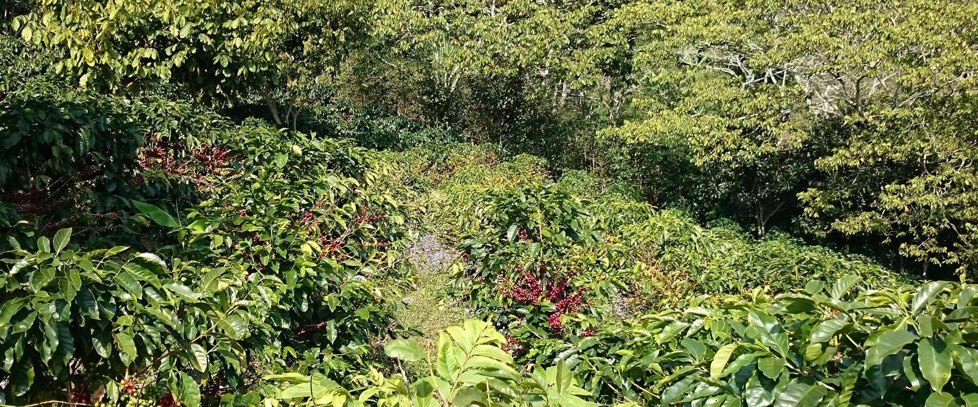 Coffee Farm in Honduras